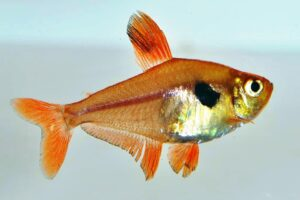 Фантом красный (Hyphessobrycon sweglesi) 4