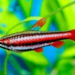 Нанностомус Красный (Nannostomus mortenthaleri) 1