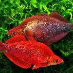 Глоссолепис красный (Glossolepis incisus) 3