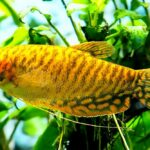 Гурами золотой (Trichogaster trichopterus gold) 8