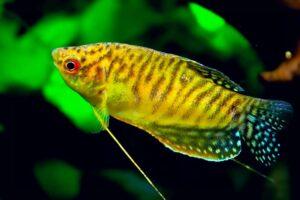Гурами золотой (Trichogaster trichopterus gold) 7