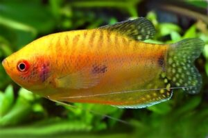 Гурами золотой (Trichogaster trichopterus gold) 4