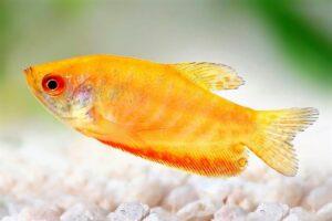 Гурами золотой (Trichogaster trichopterus gold) 6