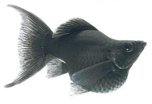 Моллинезия баллон черная (Poecilia sphenops)