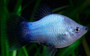 Пецилия (Xiphophorus maculatus,variatus) 16