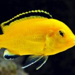 Лабидохромис Еллоу (L. caeruleus Yellow) 8