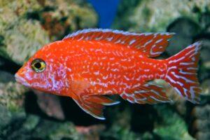 Аулонокара Красная (Aulonocara firefish) 5