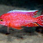 Аулонокара Красная (Aulonocara firefish) 4