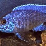 Аулонокара Синяя (Aulonocara nyassae) 1