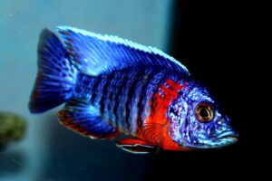 Аулонокара Синяя (A. hansbaenschi Red Flash) 6