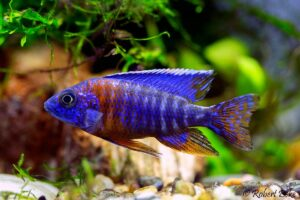 Аулонокара Синяя (A. hansbaenschi Red Flash) 4