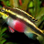 Пельвикахромис пульхер (Pelvicachromis pulcher) 6