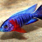 Аулонокара Синяя (A. hansbaenschi Red Flash) 1