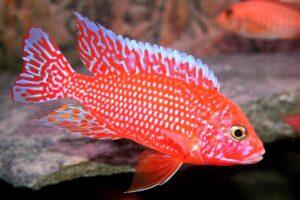 Аулонокара Красная (Aulonocara firefish) 7
