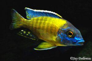 Аулонокара Гранта (A. Stuartgranti Hai Reef) 3