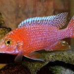 Аулонокара Красная (Aulonocara firefish) 6