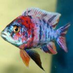 Аулонокара мультиколор (Aulonocara Multicolor) 5