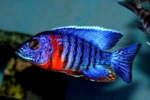 Аулонокара Синяя (A. hansbaenschi Red Flash) 5