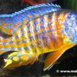 Аулонокара Мандарин (Aulonocara Mandarin) 1