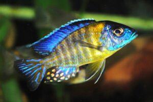 Аулонокара Гранта (A. stuartgranti blue neon) 3